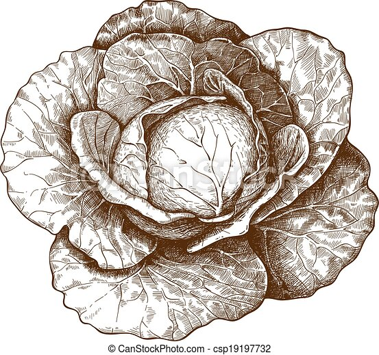 engraving cabbage on white back - csp19197732
