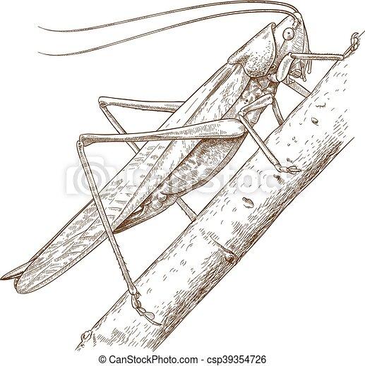 engraving grasshopper - csp39354726