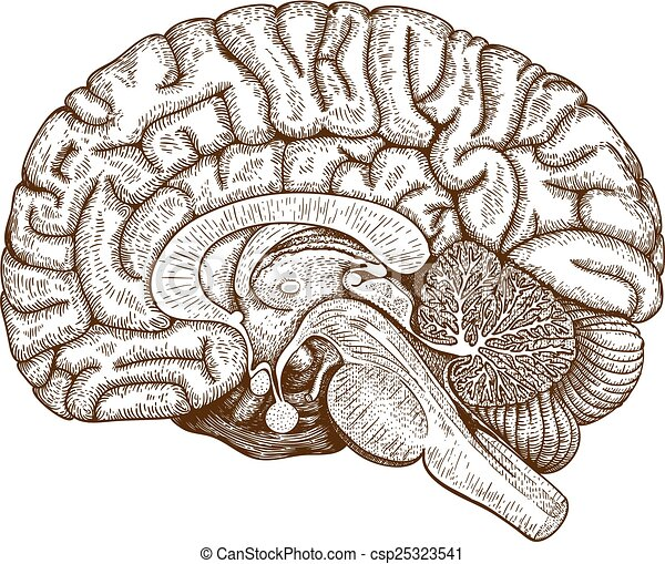 engraving human brain - csp25323541