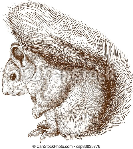 engraving squirrel - csp38835776