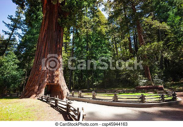 enorme, túnel, árvore, através, sequoia, footpath - csp45944163