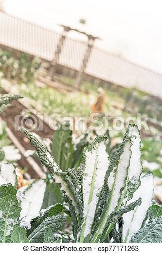 enramada, plano de fondo, cubierto, enrejado, col rizada, nero), cavolo, jardín, dallas, nieve, lacinato, (or - csp77171263