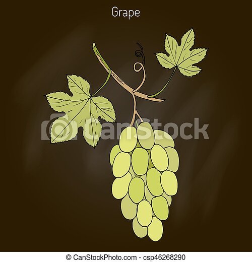 Viña común de uva - csp46268290