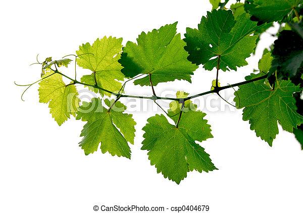 enredadera de uva - csp0404679