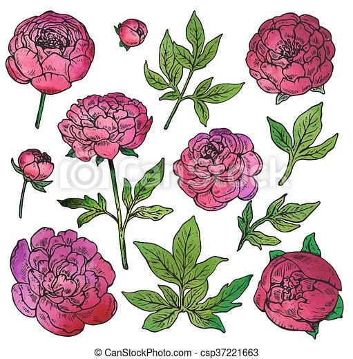 Ensemble Pivoine Couleur Main Vecteur Dessiné Fleurs