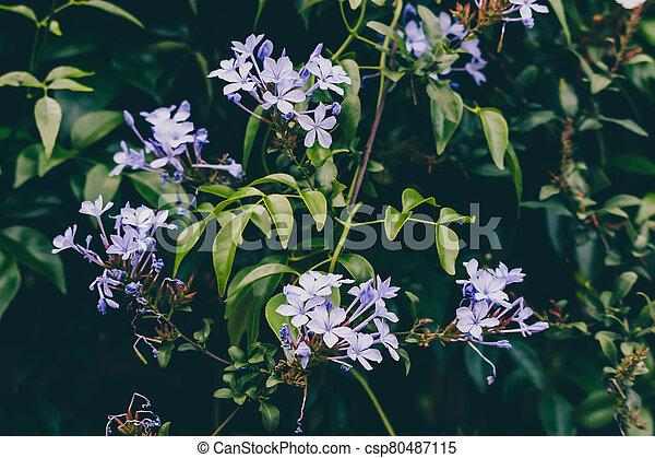 ensoleillé, extérieur, fleurs, arrière-cour, bleu, plumbago, plante - csp80487115