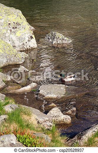 Männliche Ente im Bergteich - csp20528937