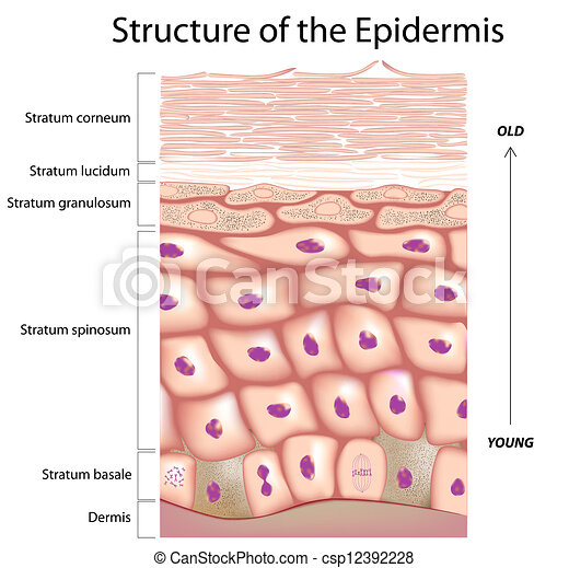 Epidermis Of The Skin Anatomy Of The Epidermis The Outmost Layer