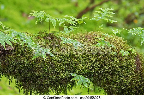 Helecho epifético y musgo verde fresco de Peat, Sphagnum Moss creciendo en el bosque - csp39458076