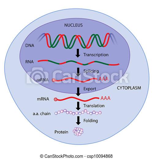 Expresión genética, eps8 - csp10094868