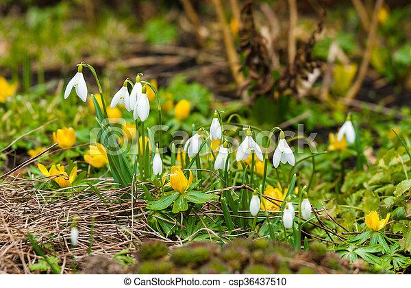 eranthis, flores, jardim, snowdrop - csp36437510