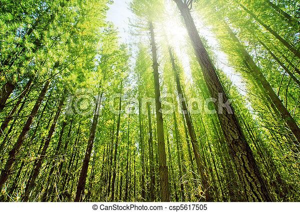 erdő, napvilág - csp5617505