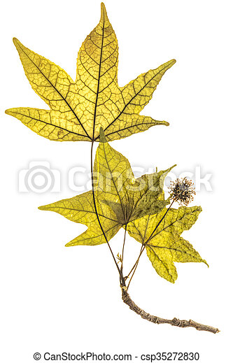 Herbarium Blätter erleuchtet platanus samen blätter freigestellt stockfotos