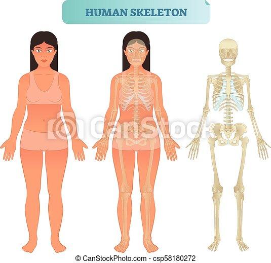 Erzieherisch, plakat, skelettartiges system, abbildung, anatomisch ...