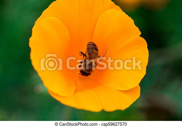 Eschscholzia californica cup of gold bunch of flowers in bloom, californian field, ornamental wild plants on a meadow, orange petals in green grass - csp59627570
