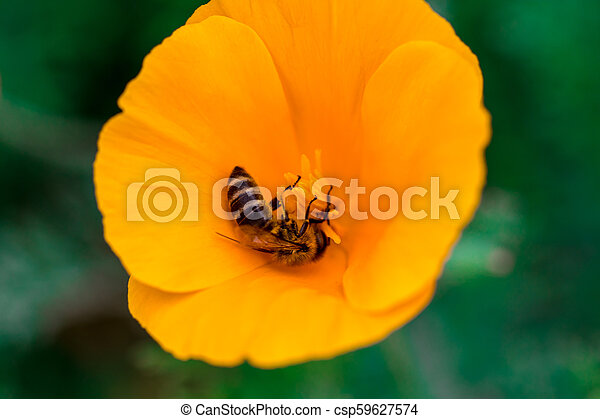 Eschscholzia californica cup of gold bunch of flowers in bloom, californian field, ornamental wild plants on a meadow, orange petals in green grass - csp59627574