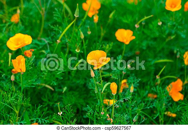 Eschscholzia californica cup of gold bunch of flowers in bloom, californian field, ornamental wild plants on a meadow, orange petals in green grass - csp59627567