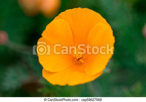 Eschscholzia californica cup of gold bunch of flowers in bloom, californian field, ornamental wild plants on a meadow, orange petals in green grass - csp59627569