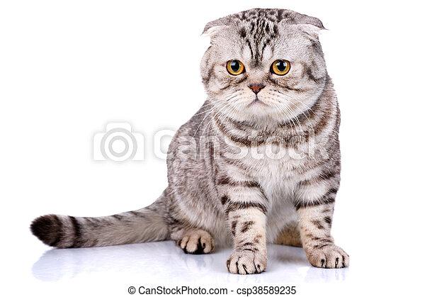 El gato escocés dobla rayas bicolores en fondo blanco - csp38589235