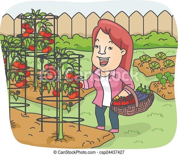 Recogiendo tomates - csp24437427