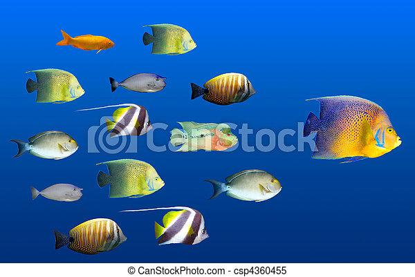 El concepto de liderazgo: peces grandes liderando la escuela de peces tropicales - csp4360455