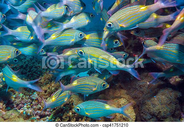 Escuela de peces plateados, maldivas - csp41751210