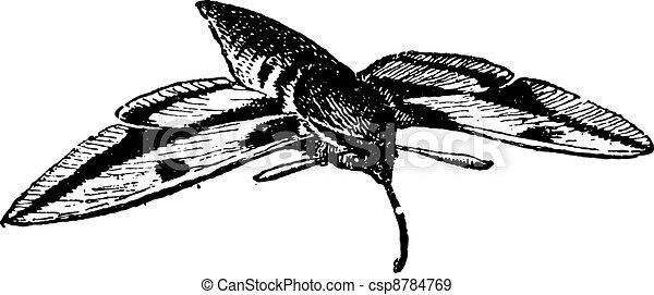 esfinge, moth, vindima, moth, falcão, ou, engraving. - csp8784769