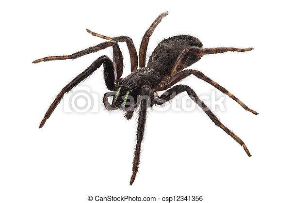 espécie, tegenaria, pretas, aranha, sp - csp12341356