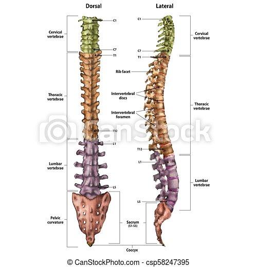 espina dorsal en ingles