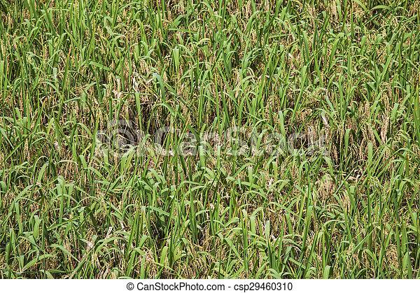 Espinazo Terrazas Dragon S Campo China Arroz Longshen