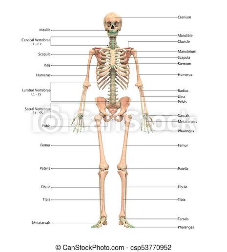 Esqueleto, (anterior, etiquetas, sistema, anatomía, humano, view ...