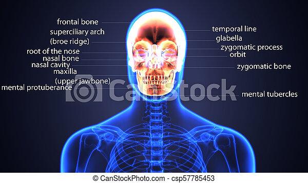 Ilustración 3D de la anatomía craneal - parte del concepto médico esqueleto humano. - csp57785453
