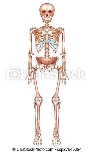 Esqueleto, humano. Detallado, esqueleto, plano de fondo, anatomía ...