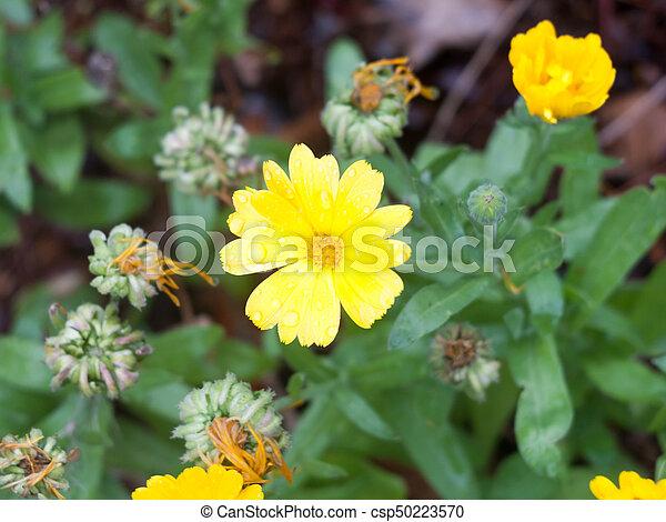 Fiori Gialli 8 Petali.Estate Fiore Giallo Petali Bagnato Selvatico Calendola
