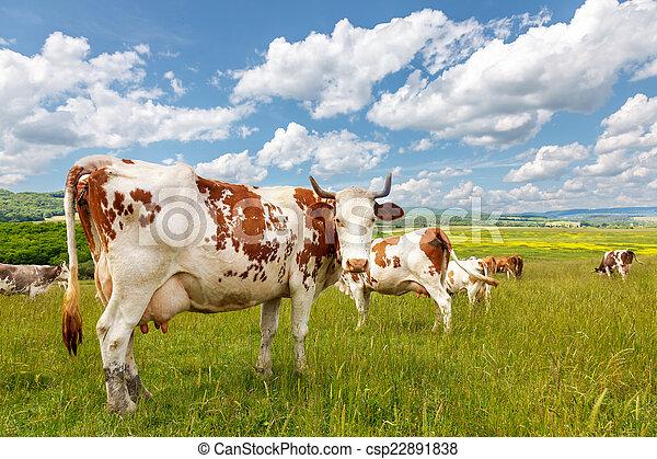 estate, gregge, mucca, campo - csp22891838