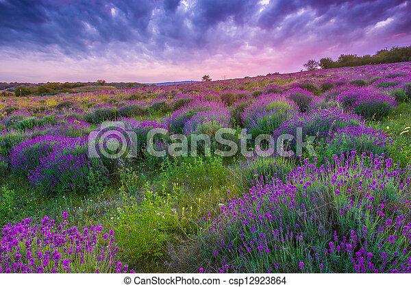 estate, sopra, giacimento lavanda, tramonto, tihany, ungheria - csp12923864