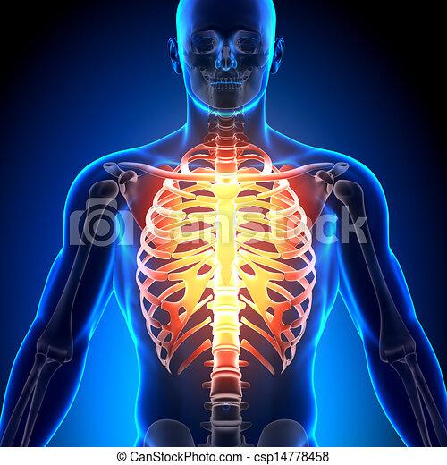 Esternón, jaula, -, /, anatomía, huesos, costilla.