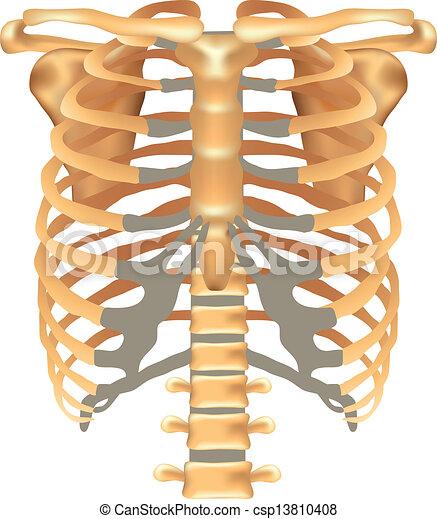 Esternón, sc, thorax-, costillas, clavícula. Detallado, thorax ...