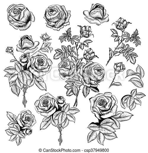 Gran conjunto o colección de vectores dibujadas a mano rosas para el diseño en estilo grabado - csp37949800