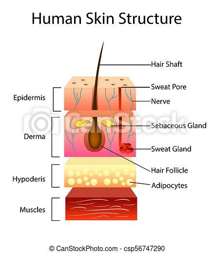 Estructura Vector Humano Ilustración Piel