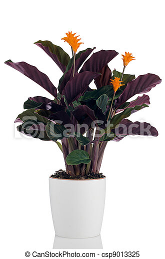 Eternal flame flower (calathea crocata) - csp9013325