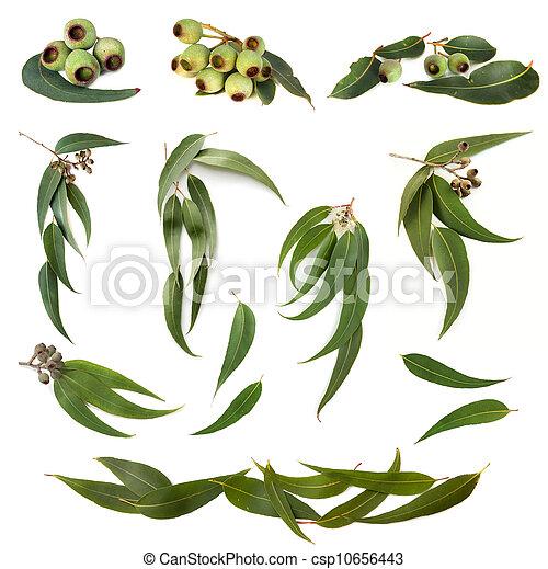 eucalyptus, feuilles, collection - csp10656443