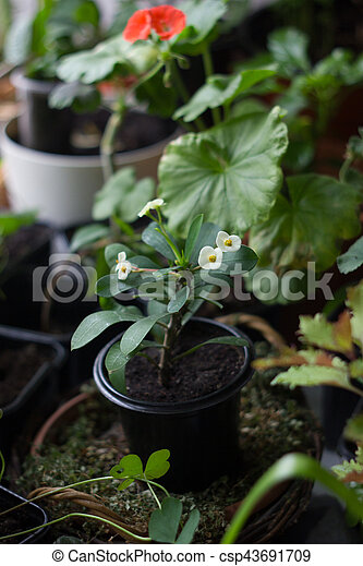 Euphorbia Milii Home Plant With White Flowers Crown Of Thorns