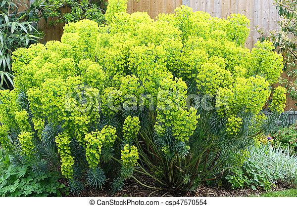 Euphorbia Plant In An English Garden