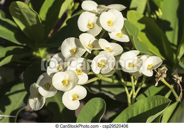 Euphorbia White Flowers