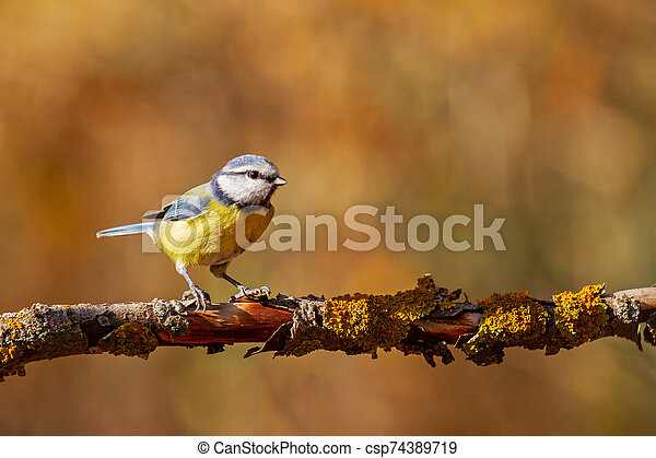 Eurasian blue tit sits on a branch in the forest - csp74389719