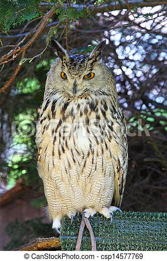 Eurasian Eagle Owls - Bubo Bubo - csp14577769