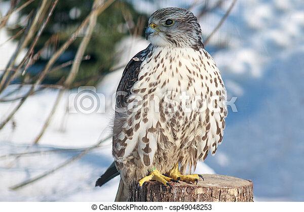 Eurasian falcon sitting on a wooden stump. - csp49048253