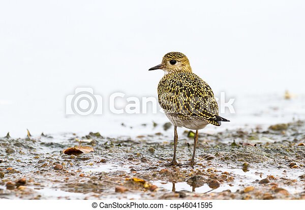 Eurasian Golden Plover Pluvialis apricaria, on beach with light background - csp46041595