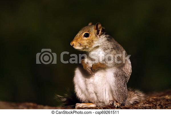 Eurasian grey squirrel sitting on a wooden log - csp69261511